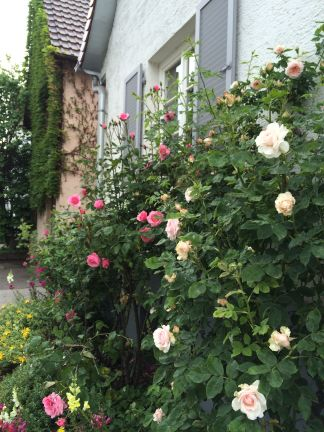 This is one of my favorite houses on our street...their roses are currently in full bloom.