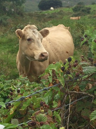Sweet old (or young...how can one tell?) cow near Westcove. If there are two things not lacking in the Irish hills it would be hooved mammals and emerald-colored everything.